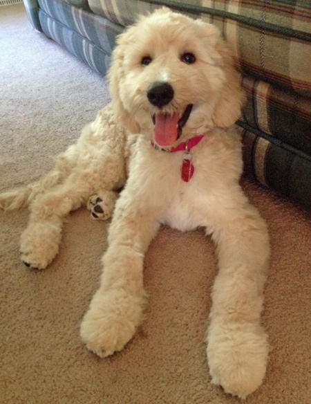 daisy-the-goldendoodle_69595_2013-01-17_w450